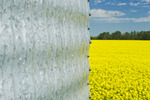 a field of bloom stage canola with grain bin(silo) in the foreground,  Tiger Hills, Manitoba, Canada
