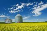 a field of bloom stage canola with old grain bins in the background,  Tiger Hills, Manitoba, Canada