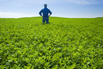 man in alfalfa field, near Somerset, Manitoba, Canada