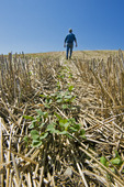 a farmer scouts early growth canola in a zero till grain stubble field, Tiger Hills, Manitoba, Canada