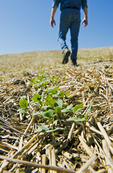 a farmer scouts early growth canola in a zero till grain stubble field, Tiger Hills, Manitoba, Canada