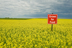 bloom stage canola field being grown for food,  near Bruxelles, Manitoba, Canada