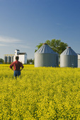 a man looks out over a bloom stage canola field, grain bins and elevator, Dugald, Manitoba, Canada