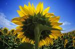 sunflower field near Lorette, Manitoba, Canada