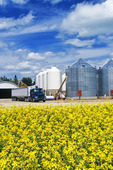 a field of bloom stage canola with grain bins(silos) in the background and farmer loading grain truck with wheat,  near Dugald, Manitoba, Canada