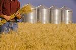 a farmer holds mature winter wheat, grain bins in the background, near Carey, Manitoba, Canada