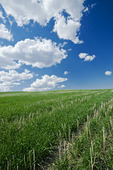 an early growth winter wheat field in zero till canola residue, Manitoba, Canada