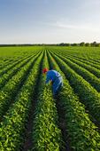 a man checks a mid growth soybean field, Manitoba, Canada