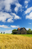 wheat field and old house, near Notre Dame de Lourdes, Manitoba, Canada