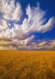 mature spring wheat near Lorette, Manitoba, Canada