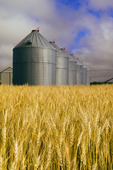 a field of  mature wheat with old grain bins(silos) in the background,  near Notre Dame de Lourdes, Manitoba, Canada