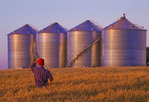a man in a field of mature wheat looks out over new grain bins(silos)  near Holland, Manitoba, Canada
