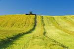 swathing high yield canola field, near Bruxelles, Manitoba, Canada