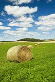 wind-blown alfalfa field, near Bruxelles, Manitoba, Canada