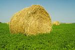 wind-blown alfalfa field, near Somerset, Manitoba, Canada