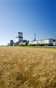 trucks hauling grain line up in front of a grain elevator, mature wheat field in the foreground, Cypress River, Manitoba, Canada
