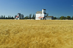 grain elevators and mature wind-blown wheat field, Cypress River, Manitoba, Canada