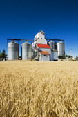 mature spring wheat with grain elevator in the background, Cypress River, Manitoba, Canada