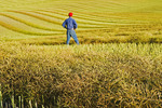 a man looks out over canola swaths, near Bruxelles, Manitoba, Canada