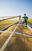 an auger loads wheat into a farm truck during the harvest, near Lorette, Manitoba, Canada