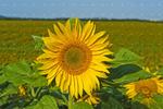 sunflower field, near Treherne, Manitoba, Canada