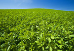 alfalfa field, near Somerset, Manitoba, Canada