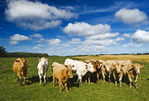 beef cattle , Tiger Hills, Manitoba, Canada