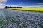 flowering flax field with canola in the background , Tiger Hills near Somerset, Manitoba, Canada