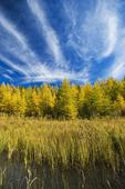autumn colours on tamarack trees, Duck Mountain Provincial Park, Manitoba, Canada