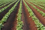 early growth potato field , near Somerset, Manitoba, Canada