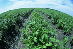 potato field that stretches to the horizon, near Somerset, Manitoba, Canada