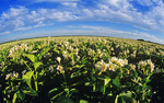 potato field that stretches to the horizon, near Portage la Prairie, Manitoba, Canada