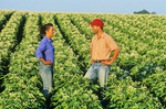 a farmer and wife in a mid-growth potato field  near Holland, Manitoba, Canada