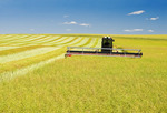 swathing high yield canola field, near Bruxelles, Manitoba, Canada