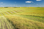 swathed canola in the Tiger Hills, near Bruxelles, Manitoba