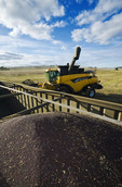 a combine harvester and partially loaded farm truck in a canola field, near Somerset, Manitoba, Canada