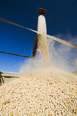 field peas being augered into a farm truck for shipping, near Ponteix, Saskatchewan, Canada