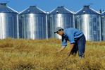 a man checks swathed canola in front of grain bins,  near Somerset, Manitoba, Canada