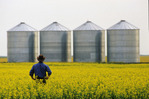 a farmer looks out over his canola crop  with grain storage bins in the background