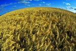 mature winter wheat wheat Tiger Hills, Manitoba, Canada