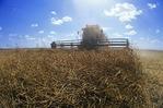 a combine harvester straight cuts a canola field, Manitoba, Canada