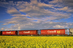 rail hopper cars next to canola field,  Manitoba, Canada