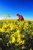 a man in a field of bloom stage canola