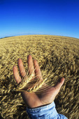 a farmer's hand holds mature heads of winter wheat, near Somerset, Manitoba, Canada