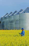 man in a field of bloom stage canola with grain bins(silos) in the background,  Manitoba, Canada