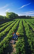children picking strawberries, near Winnipeg, Manitoba, Canada