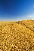 close-up of harvested grain/feed corn in farm truck, near Niverville, Manitoba, Canada