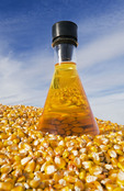 harvested feed corn and corn oil