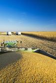 close-up of harvested grain/feed corn in a grain wagon, near Niverville, Manitoba, Canada
