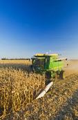 feed corn harvest near Niverville, Manitoba, Canada
